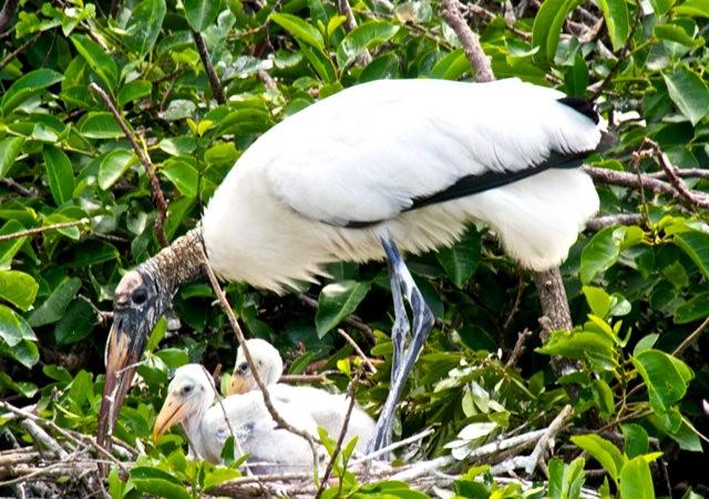 Wakodahatchee Wetlands 濕地_圖1-11
