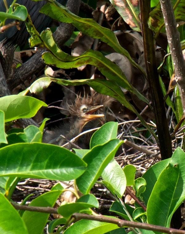 Wakodahatchee Wetlands 濕地_圖1-12