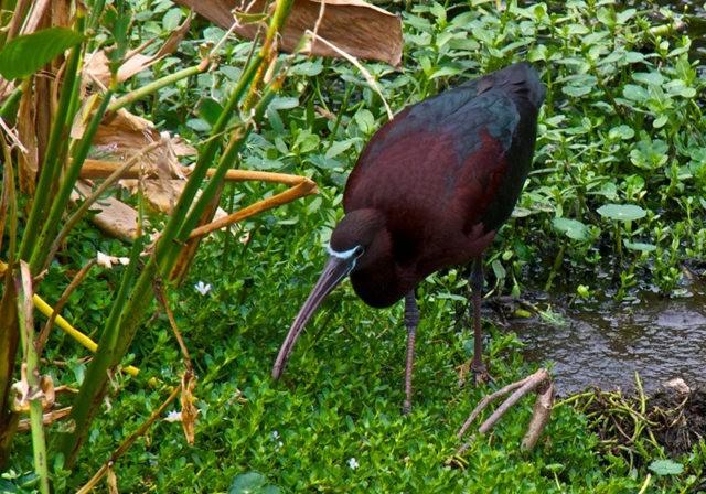 Wakodahatchee Wetlands 濕地_圖1-15