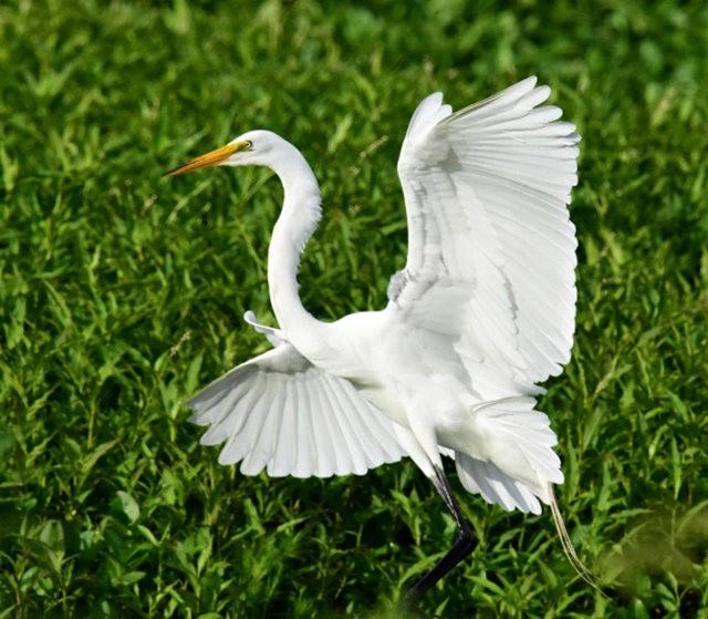 Wakodahatchee Wetlands 濕地_圖1-18