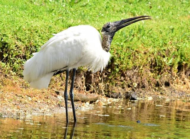 Wakodahatchee Wetlands 濕地_圖1-19