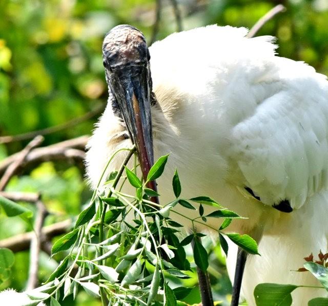 Wakodahatchee Wetlands 濕地_圖1-20