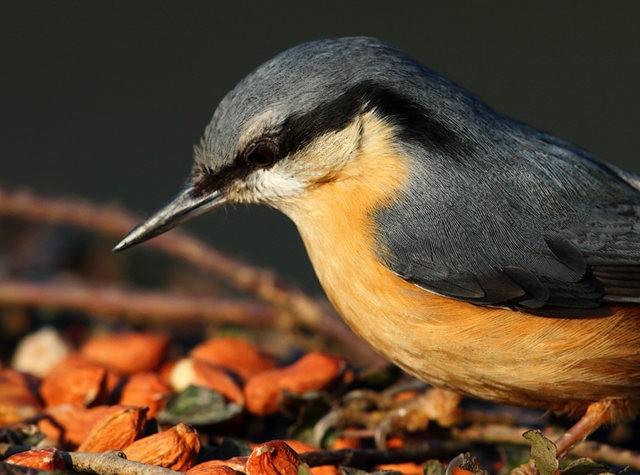 紐波特濕地國家自然保護區--五十雀_圖1-7