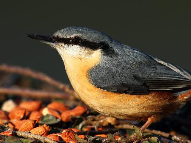 紐波特濕地國家自然保護區--五十雀_圖1-8