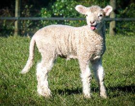 莎士比亚公园之小羊羔