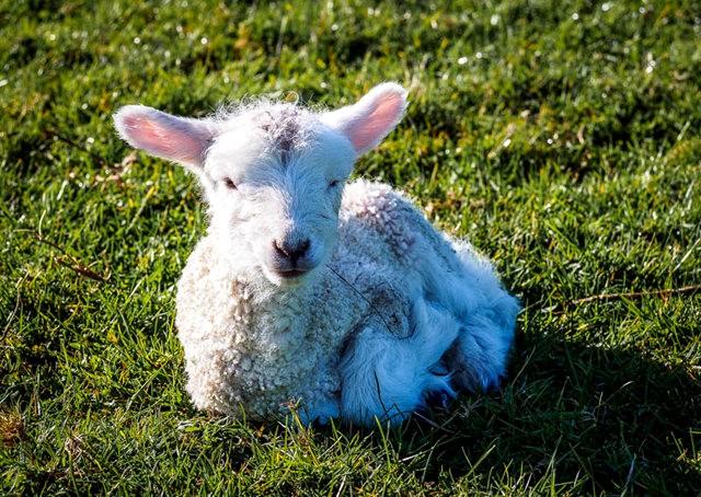 莎士比亞公園之小羊羔_圖1-3