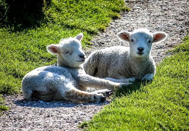 莎士比亞公園之小羊羔_圖1-8