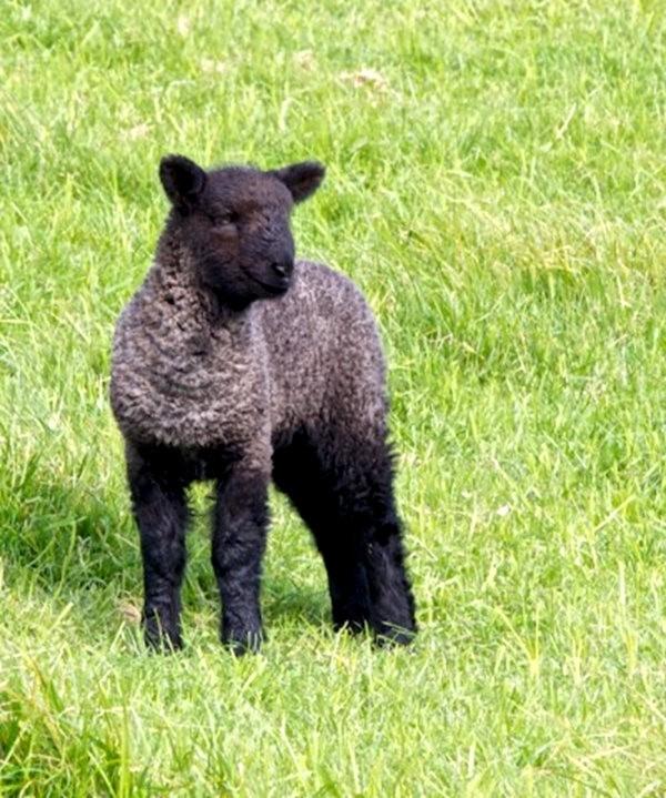 莎士比亞公園之小羊羔_圖1-16