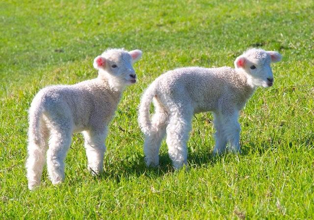 莎士比亞公園之小羊羔_圖1-17