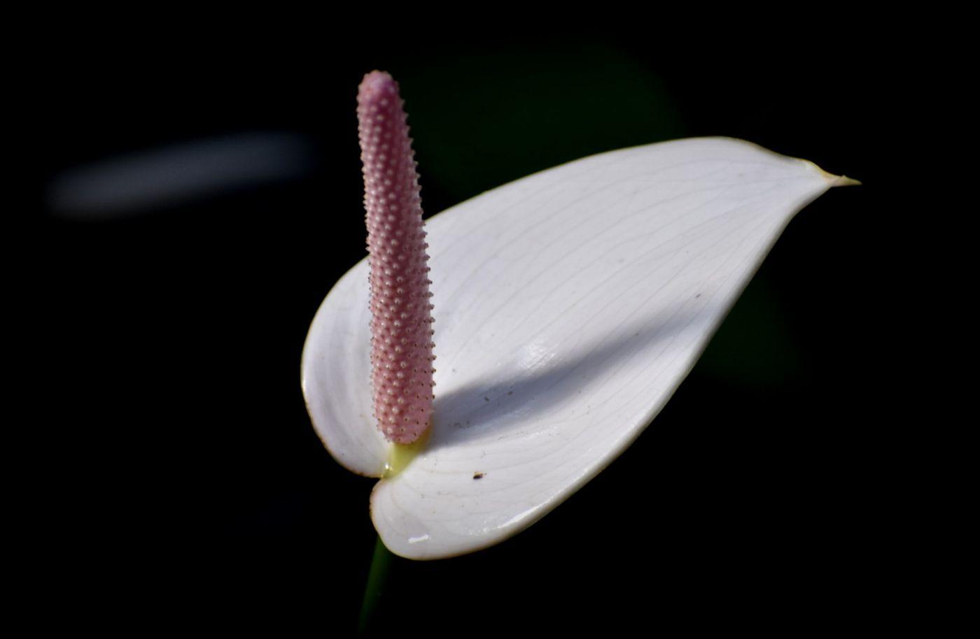 最近在溫室拍攝的花 (1)_圖1-14