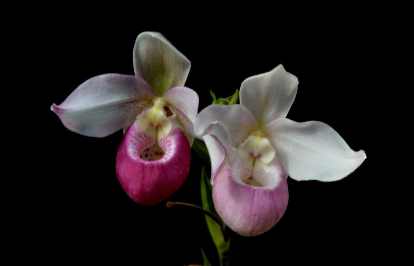 最近在溫室拍攝的花 (1)_圖1-21