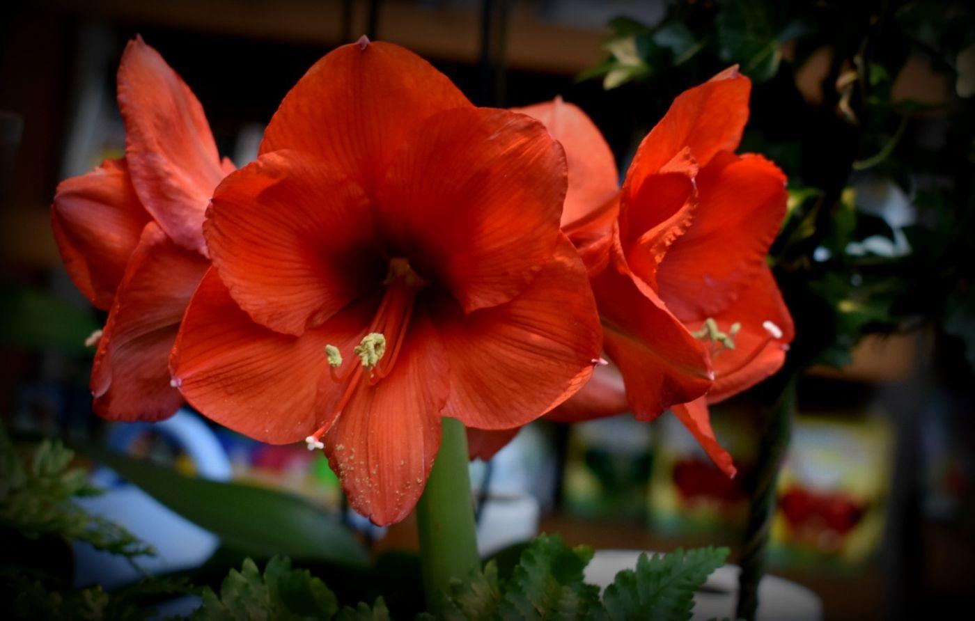 最近在温室拍摄的花 (2)_图1-15