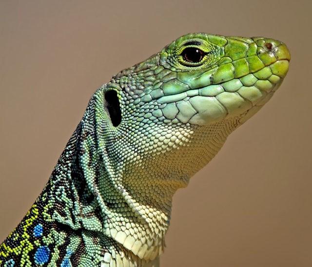 蓝斑蜥蜴_图1-1