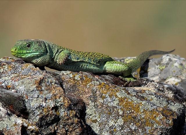 蓝斑蜥蜴_图1-2