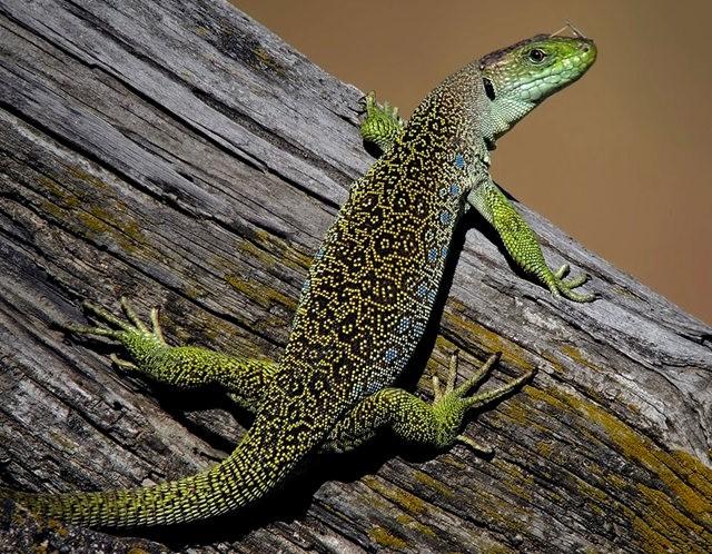 蓝斑蜥蜴_图1-4