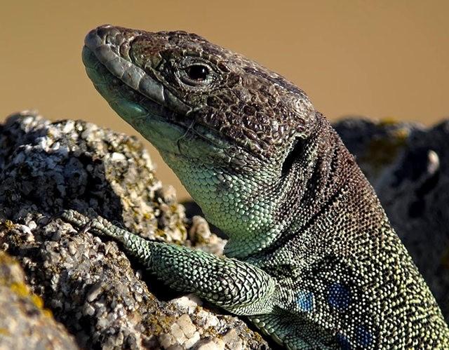 蓝斑蜥蜴_图1-5
