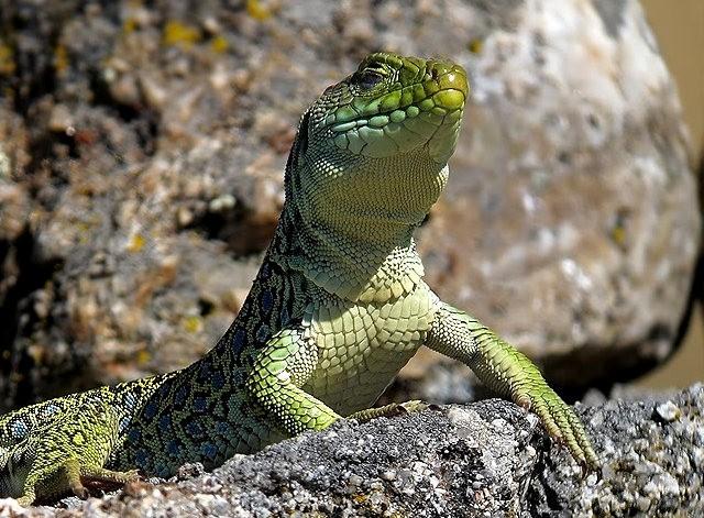 蓝斑蜥蜴_图1-6