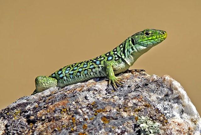 蓝斑蜥蜴_图1-8