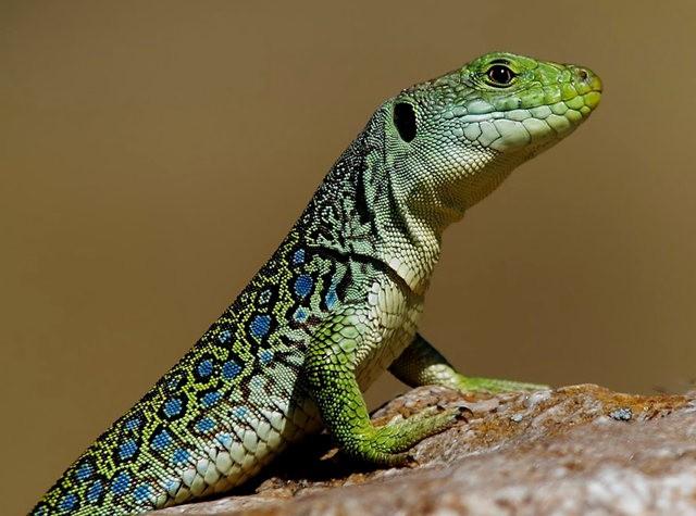 蓝斑蜥蜴_图1-10