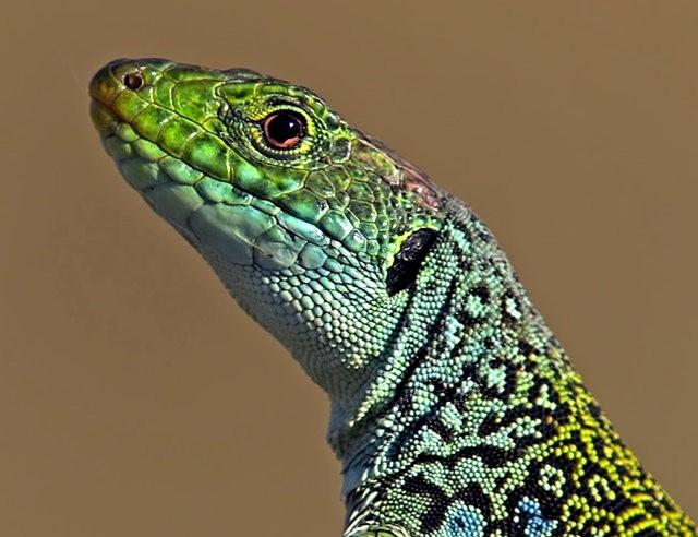 蓝斑蜥蜴_图1-11
