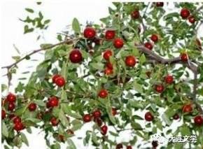 家乡的枣树(散文)_图1-1