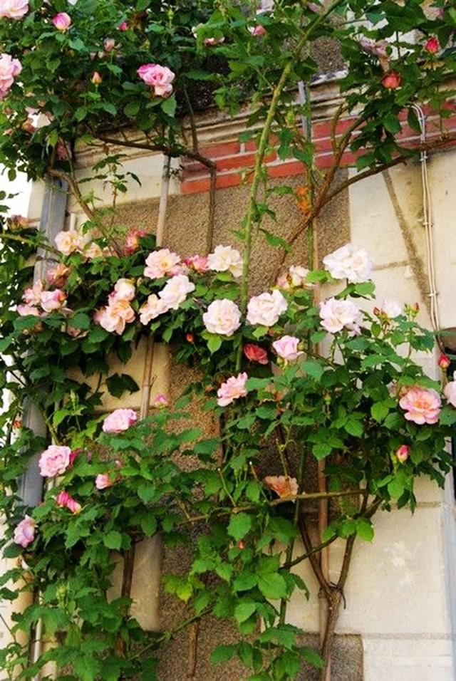 谢迪尼--法国玫瑰村_图1-19