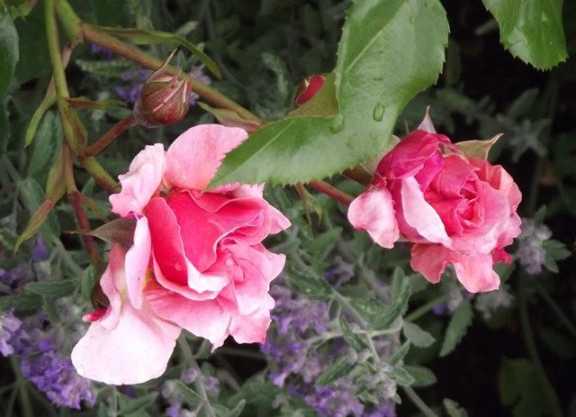 谢迪尼--法国玫瑰村_图1-25