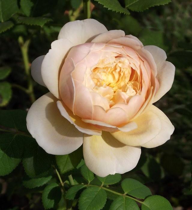 谢迪尼--法国玫瑰村_图1-26