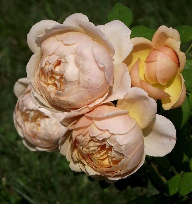 谢迪尼--法国玫瑰村_图1-27