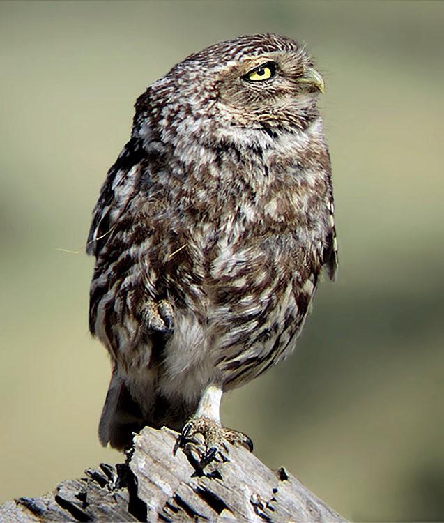 纽波特保护区猫头鹰_图1-2
