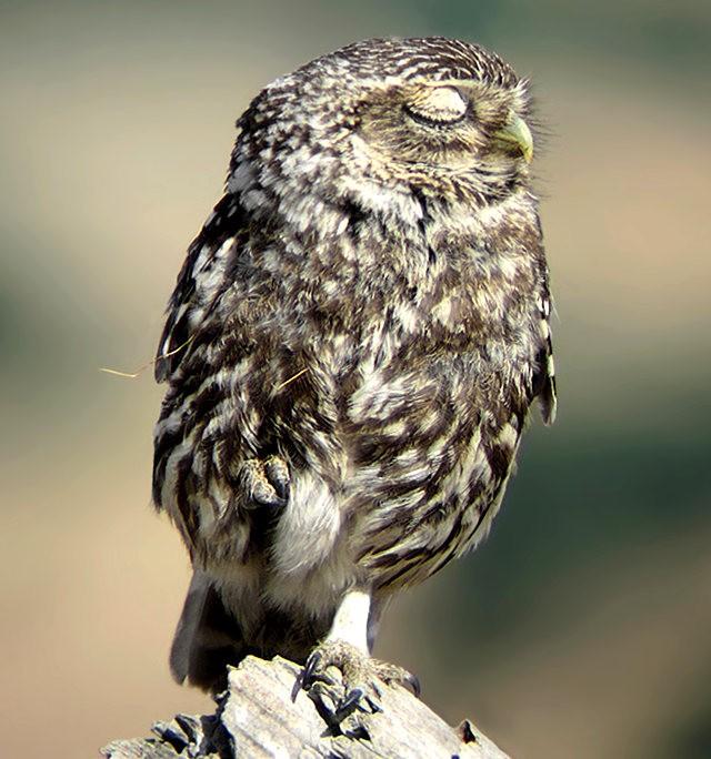 纽波特保护区猫头鹰_图1-3