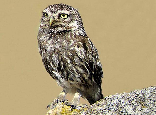 纽波特保护区猫头鹰_图1-8