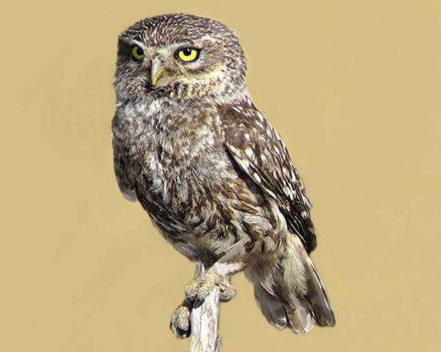 纽波特保护区猫头鹰_图1-11