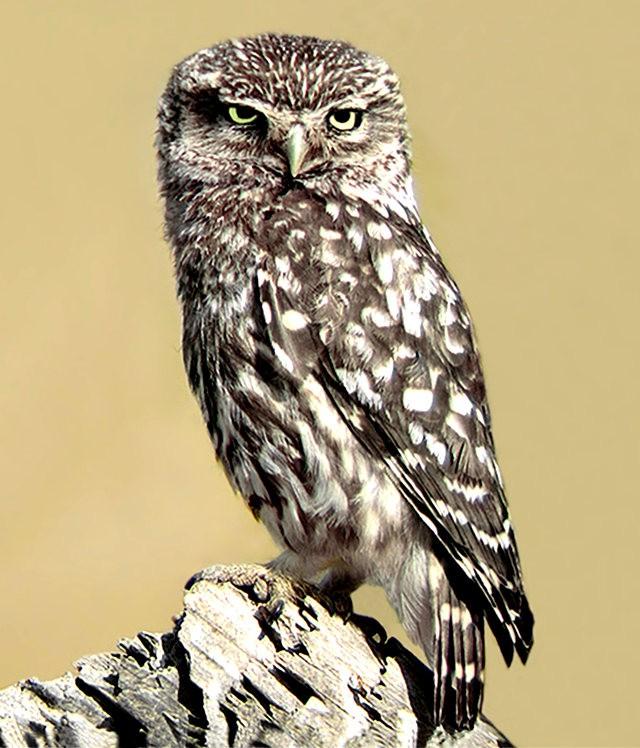 纽波特保护区猫头鹰_图1-12