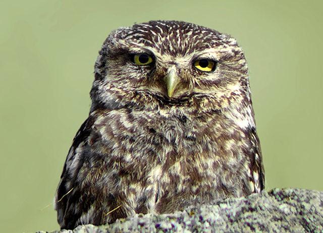纽波特保护区猫头鹰_图1-13