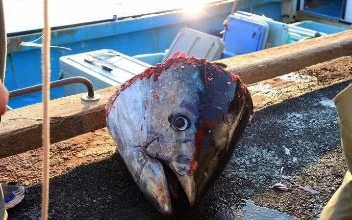天下第一贵的鱼,比大熊猫还濒危,因太好吃人类不愿禁捕_图1-6