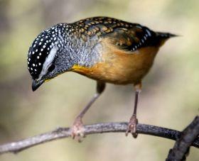 澳洲钻石鸟