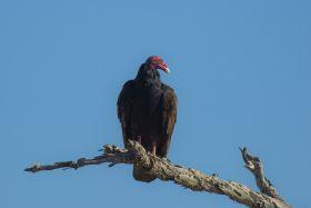 美洲红头鹫