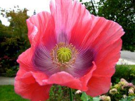 罂粟,水仙.公园之美