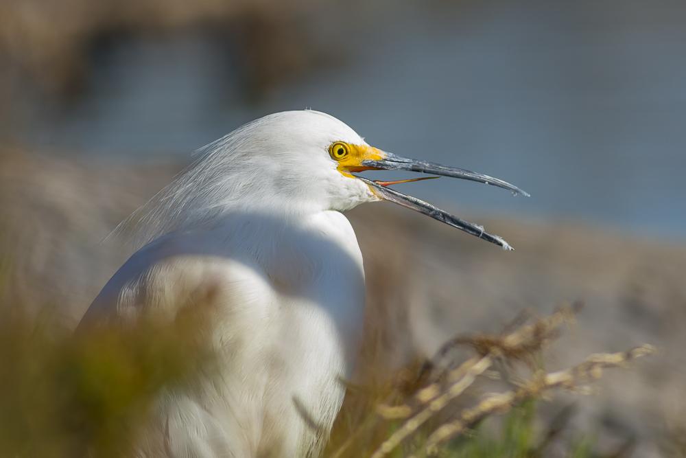 这只雪鹭的样子有点怪_图1-3