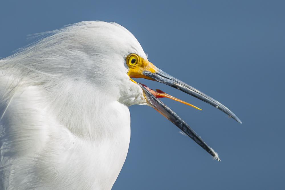 这只雪鹭的样子有点怪_图1-8