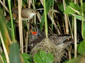 惊讶的发现----莺妈妈喂养杜鹃