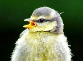 小小蓝山雀