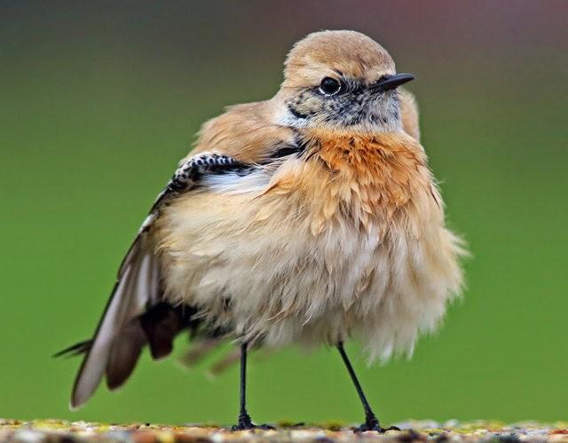 海堤上的石棲鳥_圖1-1