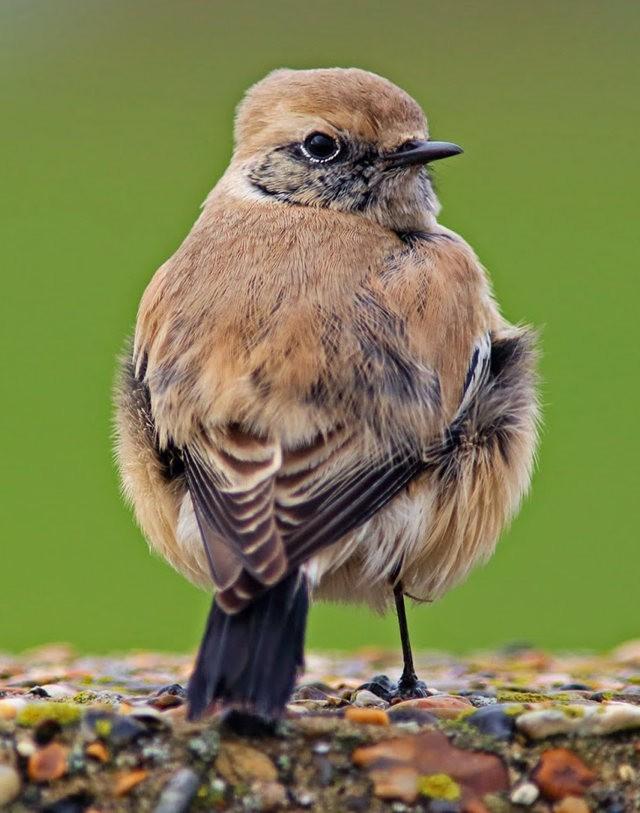海堤上的石棲鳥_圖1-2