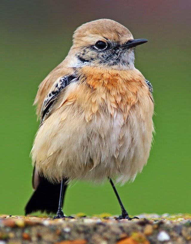 海堤上的石棲鳥_圖1-4