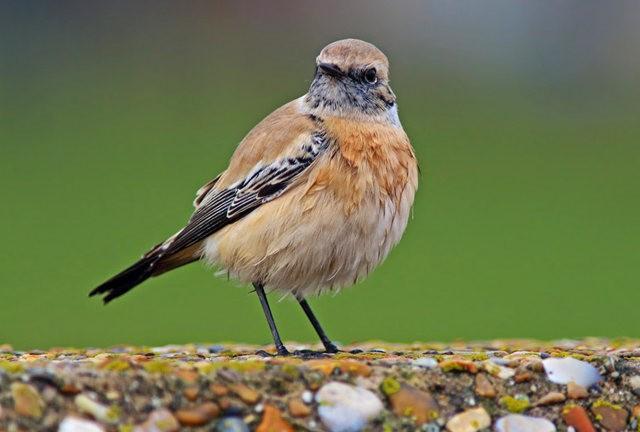 海堤上的石棲鳥_圖1-5