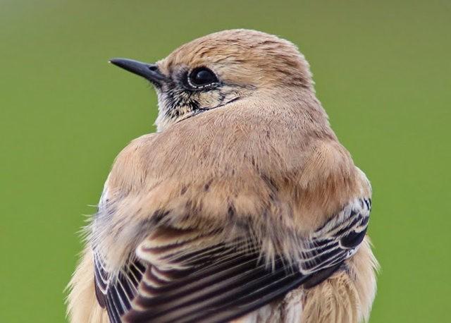 海堤上的石棲鳥_圖1-7