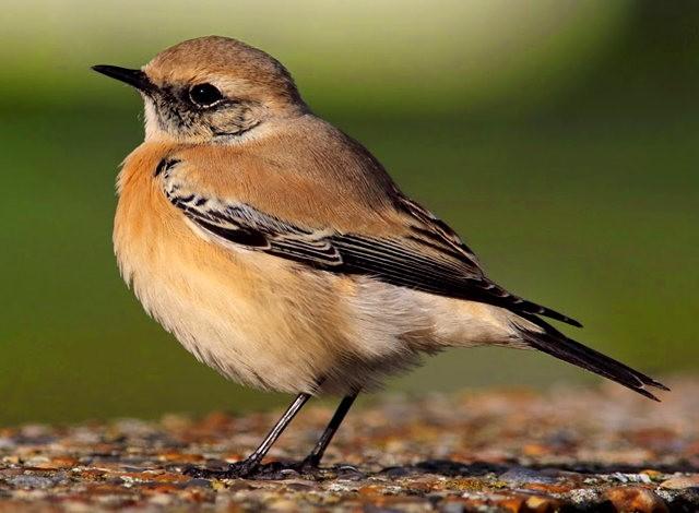 海堤上的石棲鳥_圖1-11