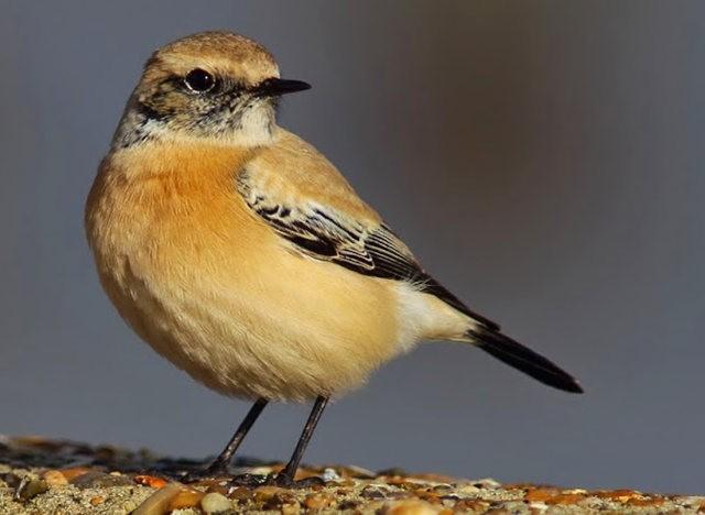 海堤上的石棲鳥_圖1-12